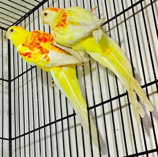 Khizar Khan - Parrots Breeder Rahim Yar Khan