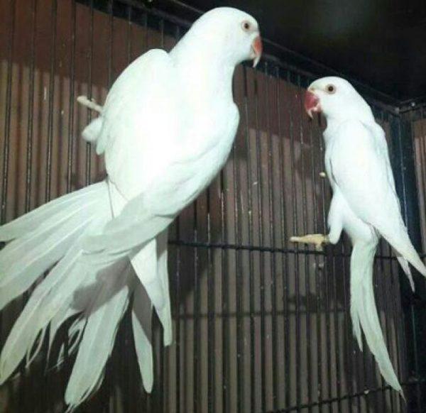 Dr  Waqas Mughal - Parrot Breeder Gujranwala