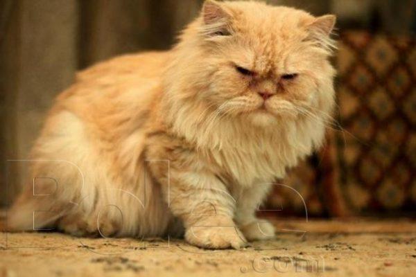 Royal Pets - Cat Breeder in Karachi