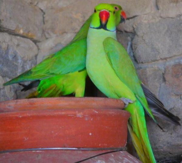 Adnan Ahmed - Parrot Breeder Mianwali