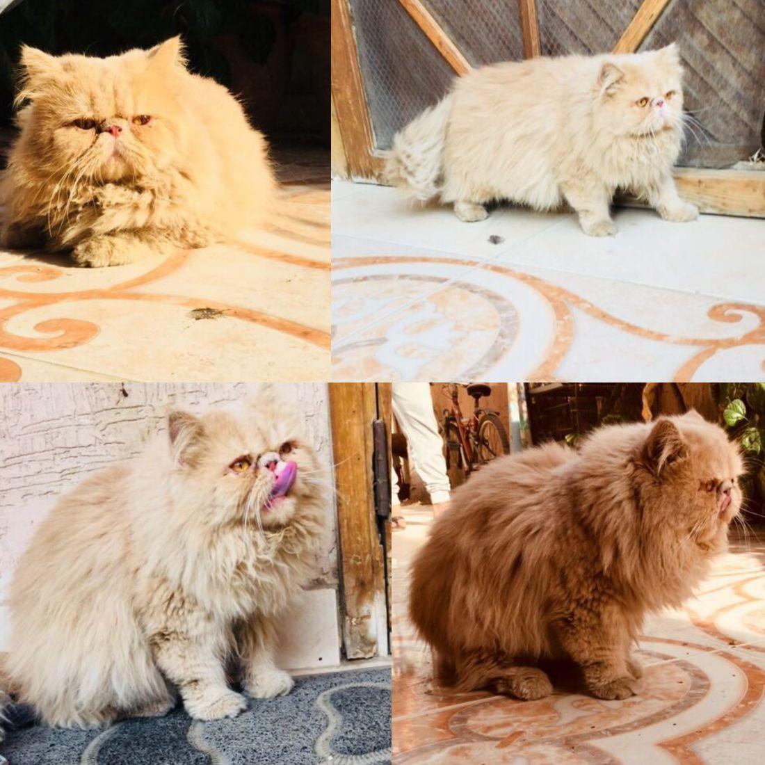 Persian Cat Breeders in Karachi Archives - PetPitari Com