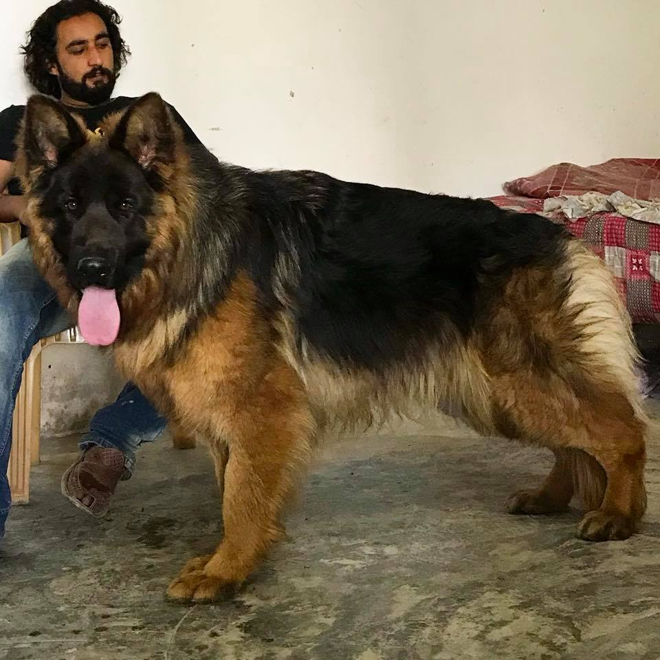 Rottweiler Breeders in Islamabad Archives - PetPitari Com