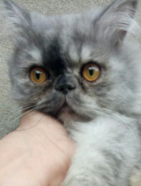 Smoky - Persian Cat Stud in Lahore