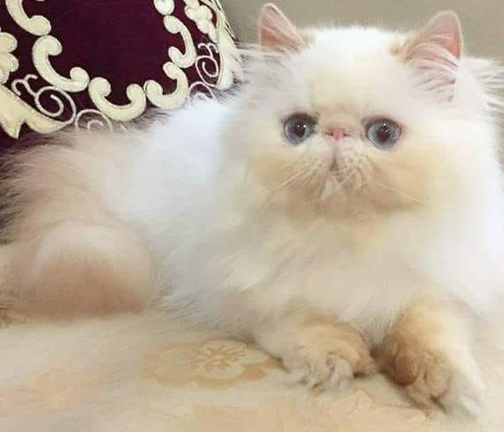 Exotic Persians Cattery - Cat Breeder in Sialkot