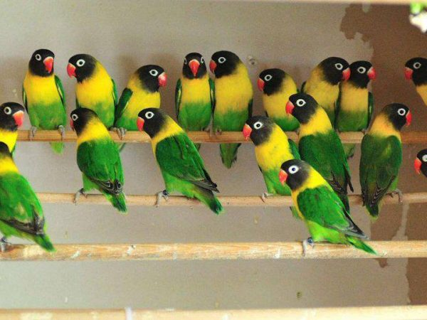 Hafiz Haseeb - Parrot Breeder in Lahore