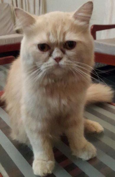 Tom - Persian Cat Stud in Karachi