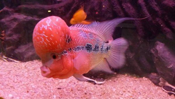 Fish Palace Aquarium Fish Breeder In Faisalabad
