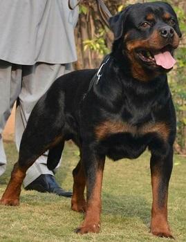 Hero Timit Tor - Rottweiler Stud in Islamabad