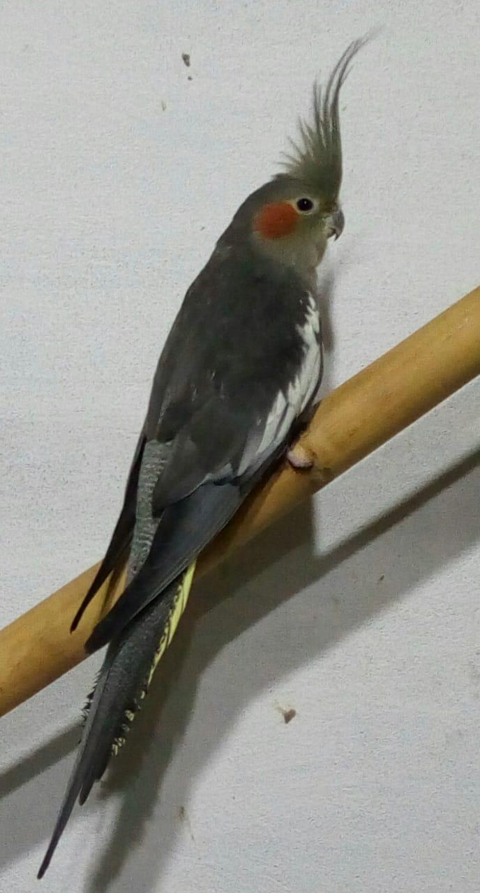 Cockatiel for Sale in Lahore - PetPitari Com