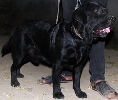 Candy - Labrador Stud in Rawalpindi