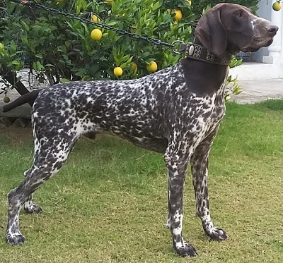 Rover of Bunfis at High Ridge - German Shorthaired Pointer